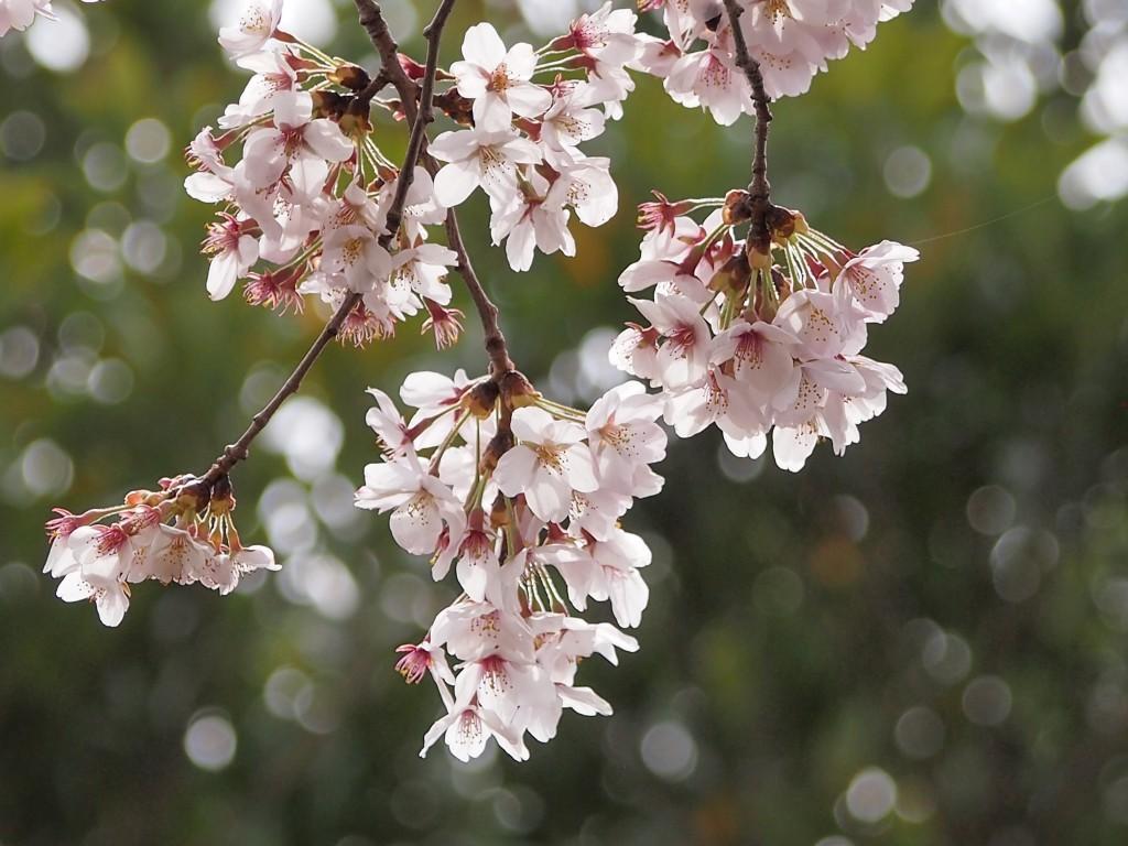 桜の花(佐野市の公園)